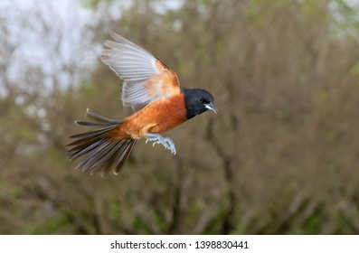 Orchard oriole (Icterus spurius) male flying, Iowa, USA