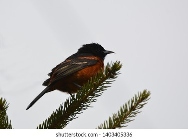 Orchard Oriole perched in a tree