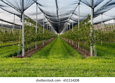 Orchard protected with anti hail net