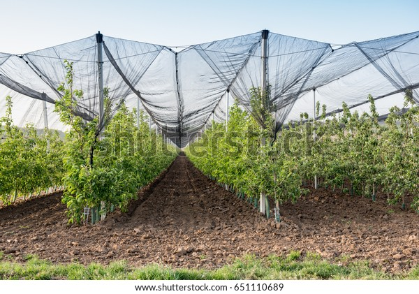 Orchard Protected Anti Hail Net Stock Photo (Edit Now) 651110689