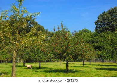 The orchard with a sheep on a sunny summer day.