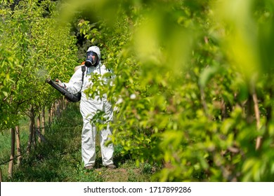Orchard Spraying - Farmer Spraying Pear Orchard With Chemicals in Springtime. Man in Coveralls With Gas Mask Spraying Fruit Orchard. Farmer Sprays Trees With Toxic Pesticides or Insecticides .