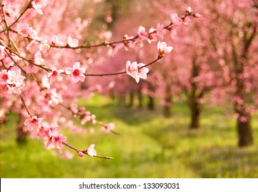 Orchard in spring blossom