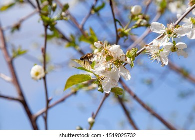 Orchard at spring time. Close up view of honeybee on white flower of cherry tree blossoms collecting pollen and nectar to make sweet honey. Small green leaves and white flowers of cherry tree blossoms