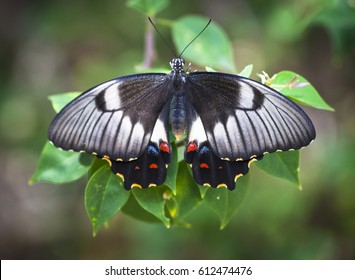Orchard Swallowtail butterfly resting on some leaves on Keppel Island in Australia