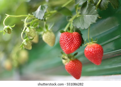 Orchard Thailand Strawberry Berry.
