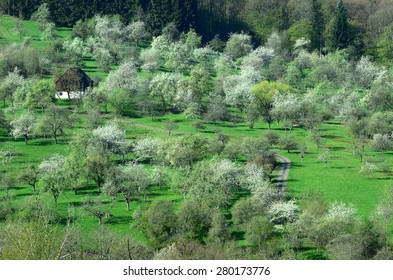 orchard; trees; blossom; Germany