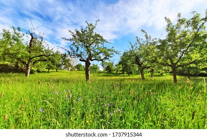 Orchard with trees and green meadow, blue sky, no clouds