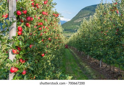 Orchard of Trentino Alto Adige, Italy. Val di Non, a vast fruit orchard in the heart of north - western Trentino, Italy