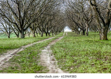 Orchard with walnut trees