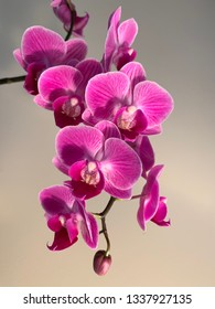 Orchid in beautiful pink, blooming in early March.