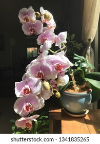 Orchid blooming by the light of a window