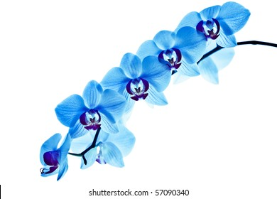 orchid, with blue color