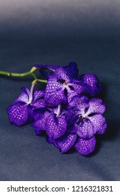 orchid blue on simple studio gray background