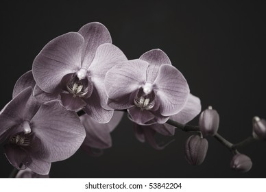 Orchid with a buds in black and white on a black background