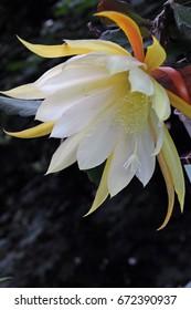 Orchid cactus flower