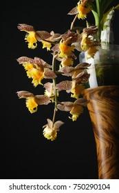 orchid Catasetum tigrinum or Catasetum fimbriatum