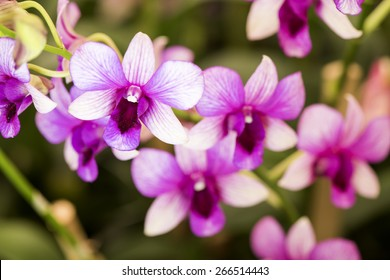 Orchid (Dendrobium) Pink