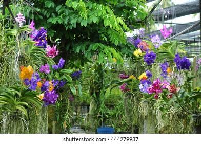 Orchid Farm. Beautiful tropical garden. Vanda Orchid.