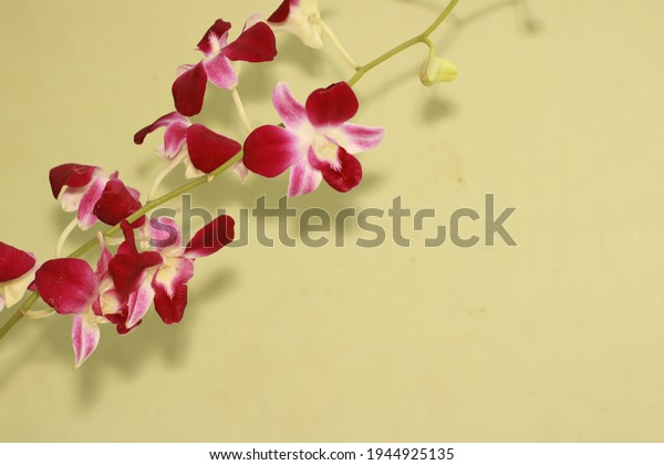 Orchid flower background for seasons greetings. Beautiful Orchid flower close view. Purple Orchid flower.