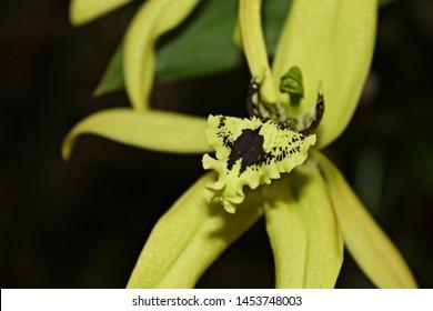 ฺBeautiful orchid flower Coelogyne pandurata is blooming on black nature background.