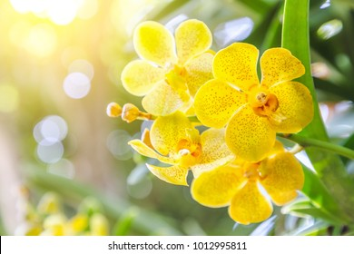 Orchid flower in garden at winter or spring day for postcard beauty and agriculture idea concept design. Vanda Orchid.