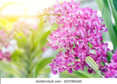 Orchid flower in garden at winter or spring day for postcard beauty and agriculture idea concept design. Rhynchostylis Orchid.