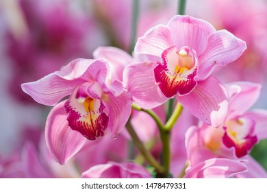 Orchid flower in orchid garden at winter or spring day for postcard beauty and agriculture design. Cymbidium Orchidaceae.