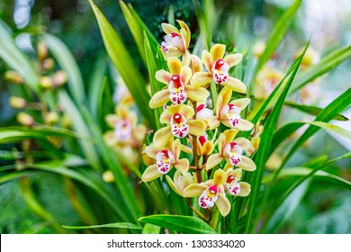 Orchid flower grow in tropical garden. Cymbidium hybrid Orchid flowering plant, close up