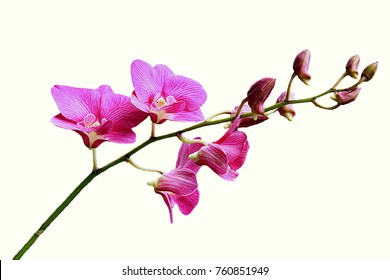 Orchid flower with isolated background.