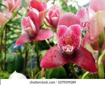 Orchid Flower : Lysudamulao Yi-Ying Sakura, pink - crimson color, water drop on petal