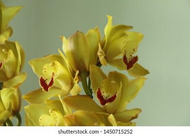 Orchid flower natural yellow Cymbidium