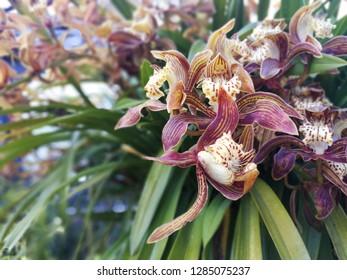 Orchid flower on tree. Cymbidium Doris, Flower have striped bronze is a primary hybrid between cymbidium insigne and cymbidium tracyanum, two of the all time great cymbidium species.