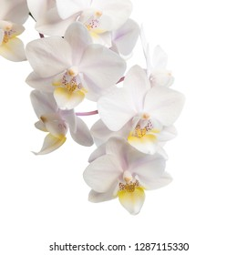 Orchid flower on a white background. Copy space for text.