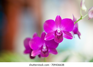 Orchid flower in outdoor.