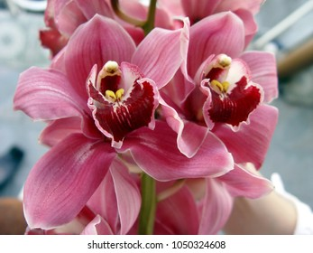 Orchid flower for postcard beauty and agriculture idea concept design. Phalaenopsis orchid.