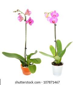 A orchid flower pot