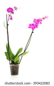 Orchid flower in a pot