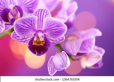 Orchid flower.  purple orchid macro on a purple background with golden bokeh.Floral macro nature background.Orchids flowers phalaenopsis