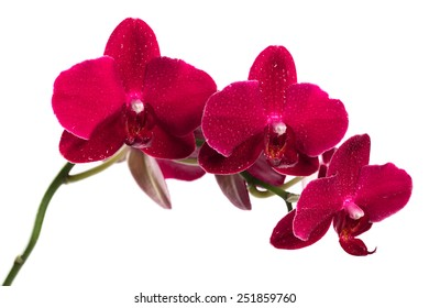 Orchid flower red color isolated on white background