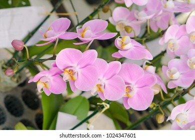 Orchid flower in tropical garden. Orchid flower growing in Chiang mai, Thaland Islands.Orchids.Floral background