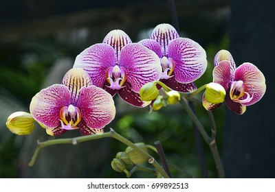 Orchid flower in tropical garden.Phalaenopsis growing on Tenerife,Canary Islands.Orchids.Floral background