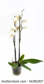 Orchid in the flowerpot