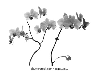Orchid flowers close on gray background in black and white in high key black and white