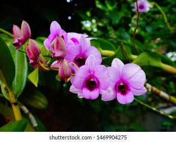 Orchid flowers. Epiphytic Dendrobium plant bearing an inflorescence of beautiful pink flowers.