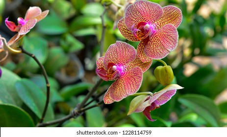 The orchid in full bloom