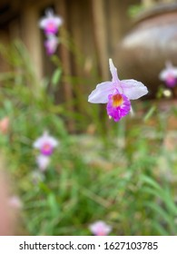 The Orchid in the garden