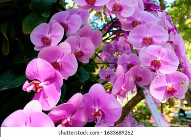 Orchid garden. Orchidaceae. orchids are available in pink, white, yellow, and purple. Beautiful flower garden. beautiful orchid. Chiang Mai, Thailand. Pink orchid. Blooming orchids.