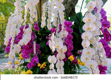 Orchid garden. Orchidaceae. orchids are available in purple, white, yellow. Beautiful flower garden. beautiful orchids. Chiang Mai, Thailand. white and purple flower. Phalaenopsis Orchids.