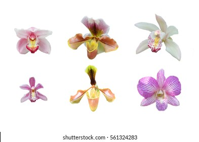 orchid isolated, flower isolated in white background
